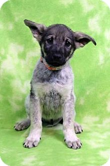 Shepherd (Unknown Type) Mix Puppy for adoption in Westminster, Colorado - YARIN