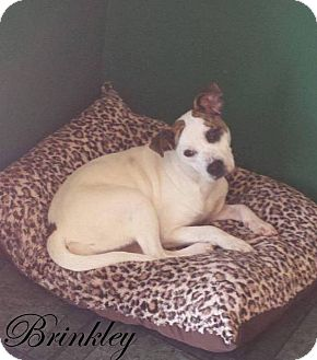 Boxer/Jack Russell Terrier Mix Dog for adoption in Mooresville, Indiana - Brinkley