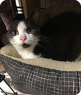 Domestic Shorthair Cat for adoption in Simpsonville, South Carolina - Tristen