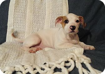 Terrier (Unknown Type, Small) Mix Puppy for adoption in DeForest, Wisconsin - Jill