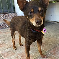 Adopt A Pet :: Penny - Santa Ana, CA