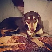 Adopt A Pet :: Preslee D1947 - Courtesy Post - Shakopee, MN