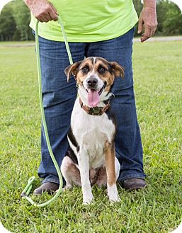 Beagle/Feist Mix Dog for adoption in Austin, Arkansas - Harley