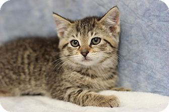Domestic Shorthair Kitten for adoption in Midland, Michigan - Meep