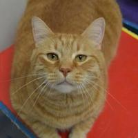 Domestic Shorthair/Domestic Shorthair Mix Cat for adoption in Oshkosh, Wisconsin - Tigger