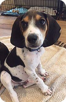 Bluetick Coonhound/Beagle Mix Puppy for adoption in Baltimore, Maryland - Eeyore