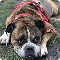 Adopt A Pet :: Arnie - Buffalo, NY