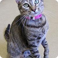 Domestic Shorthair Cat for adoption in Chula Vista, California - Molly
