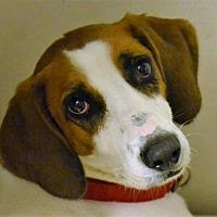 Adopt A Pet :: Sundance - Bakersville, NC