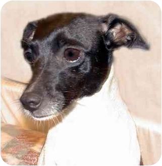Fox Terrier (Wirehaired) Mix Dog for adoption in New York, New York - China
