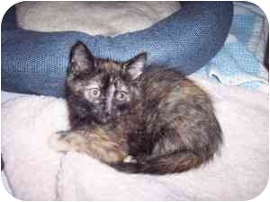 Domestic Shorthair Kitten for adoption in Medina, Ohio - Eva