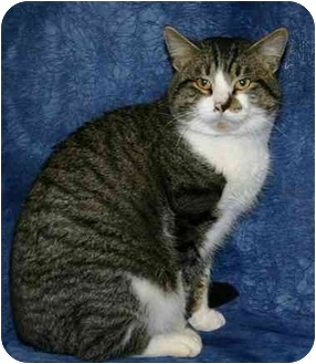 Domestic Shorthair Cat for adoption in Ladysmith, Wisconsin - Ringo
