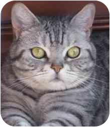British Shorthair Cat for adoption in Lake Arrowhead, California - Jade