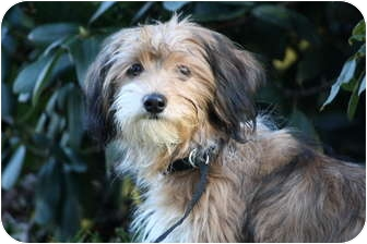 Yorkie, Yorkshire Terrier/Dachshund Mix Puppy for adoption in West Milford, New Jersey - SNICKERS- pending