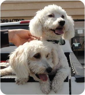 Maltese/Bichon Frise Mix Dog for adoption in Santa Ana, California - Cashi