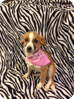 Jack Russell Terrier Mix Dog for adoption in Cranford, New Jersey - Lucy