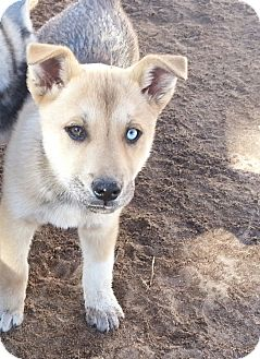Siberian Husky/German Shepherd Dog Mix Puppy for adoption in Apple valley, California - Candy