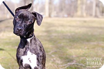 Pit Bull Terrier/American Staffordshire Terrier Mix Dog for adoption in Columbus, Ohio - Bunny