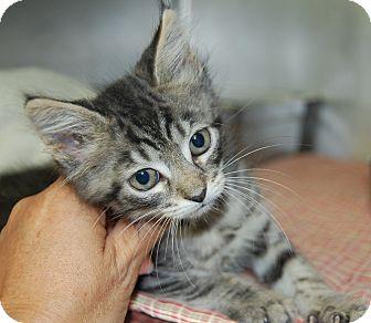Domestic Mediumhair Kitten for adoption in Bradenton, Florida - Jessie