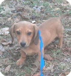 Dachshund Mix Puppy for adoption in Hagerstown, Maryland - Jack Frost (In New England)