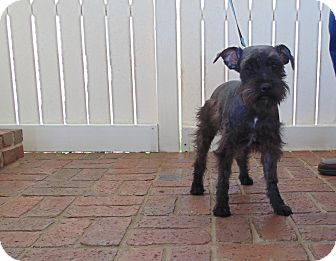 Schnauzer (Miniature) Dog for adoption in Crystal River, Florida - Gibbs and Gizmo