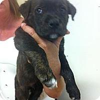 Adopt A Pet :: Rascal - El Paso, TX