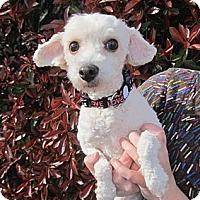 Adopt A Pet :: Lauren - Kingwood, TX