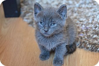 Russian Blue Kitten for adoption in Brooklyn, New York - Blue