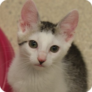 Domestic Shorthair Kitten for adoption in Naperville, Illinois - Leah