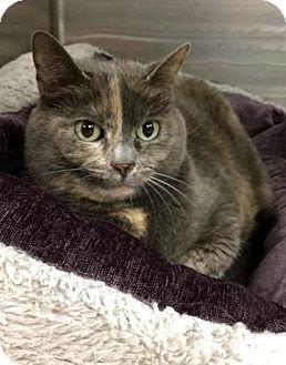 Domestic Shorthair Cat for adoption in Webster, Massachusetts - Loona