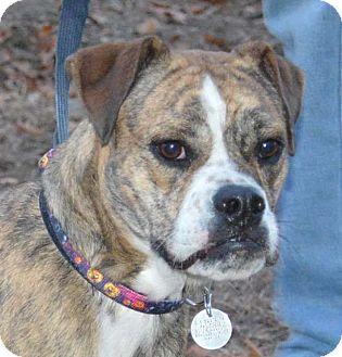 Boxer/Bulldog Mix Dog for adoption in Manhattan, Kansas - Roxie