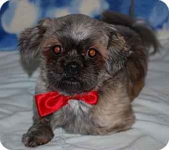 Shih Tzu Dog for adoption in Waupaca, Wisconsin - Chico