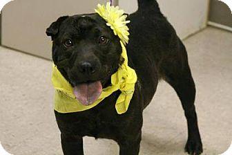 Shar Pei/Labrador Retriever Mix Dog for adoption in Lebanon, Connecticut - Shannon