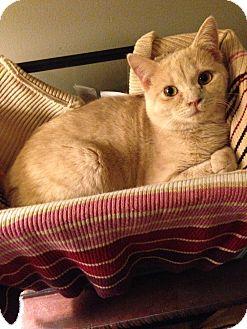 Manx Kitten for adoption in Simpsonville, South Carolina - Shelley
