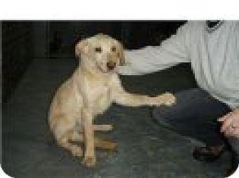 Golden Retriever/Labrador Retriever Mix Dog for adoption in Kirkland, Quebec - Dexter