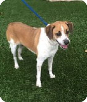 Beagle/Cairn Terrier Mix Dog for adoption in Las Vegas, Nevada - Bruno