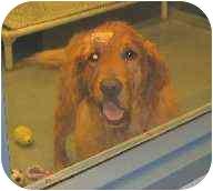 Golden Retriever Dog for adoption in Cleveland, Ohio - Ryder