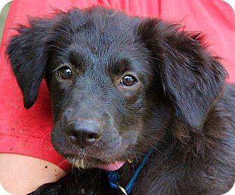 Golden Retriever/Border Collie Mix Puppy for adoption in Pewaukee, Wisconsin - JASMINE - beautiful