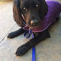 Spaniel (Unknown Type)/Flat-Coated Retriever Mix Dog for adoption in Porter Ranch, California - Victoria (BLIND)