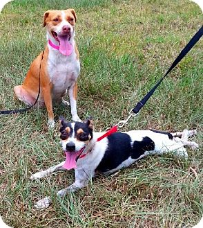Rat Terrier/Beagle Mix Dog for adoption in Simsbury, Connecticut - Chips & Rebecca