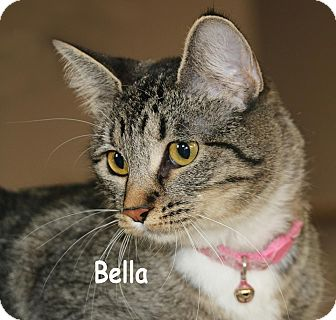 Domestic Shorthair Cat for adoption in Idaho Falls, Idaho - Bella