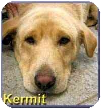 Labrador Retriever/Shar Pei Mix Dog for adoption in Aldie, Virginia - Kermit
