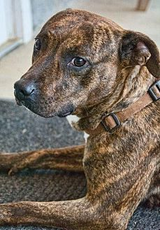Pit Bull Terrier Dog for adoption in Fayetteville, West Virginia - Mellow