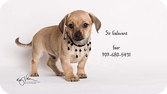 Chihuahua Mix Puppy for adoption in Riverside, California - Sir Galavant