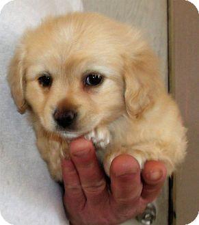Schnauzer (Miniature)/Poodle (Miniature) Mix Puppy for adoption in Corona, California - FLETCHER