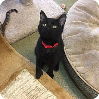 Domestic Shorthair Kitten for adoption in Westminster, California - Ragu