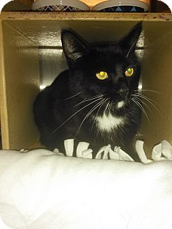 Domestic Shorthair Cat for adoption in Plano, Texas - LUTHER - LOVES BELLY RUBS!
