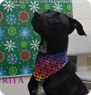 Shepherd (Unknown Type)/Greyhound Mix Dog for adoption in Bucyrus, Ohio - Rita