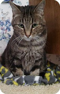 Domestic Shorthair Cat for adoption in Witter, Arkansas - Elvis (marbleized Bengal mix)
