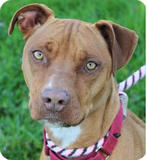 Pit Bull Terrier Mix Dog for adoption in Red Bluff, California - SHELBY:Low Fees: Spayed